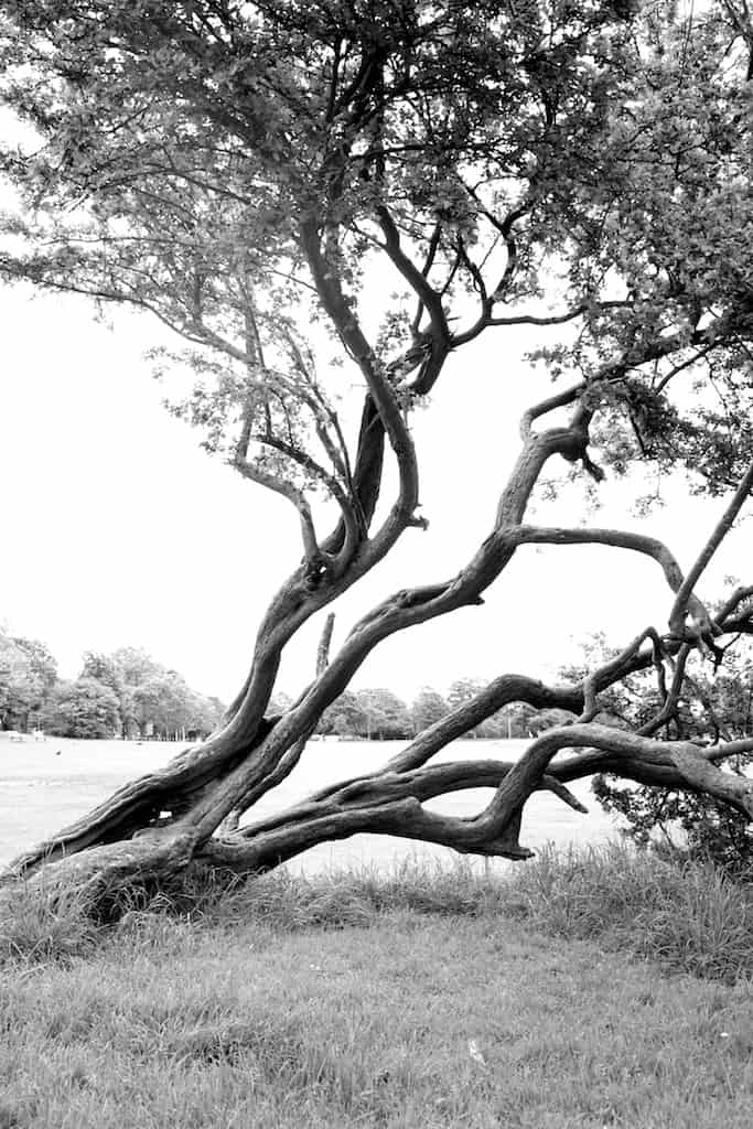half dead leaning tree, Runcorn